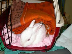 Susina è nella gabbia da risveglio, con le coperte, al calduccio