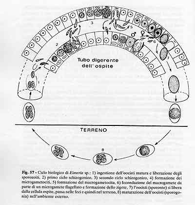 ciclo biologico di Eimeria sp.