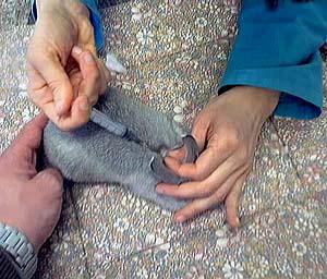 un coniglietto viene vaccinato