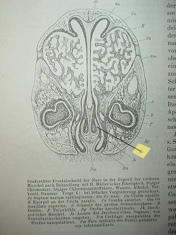 Sezione frontale verticale del naso del coniglio